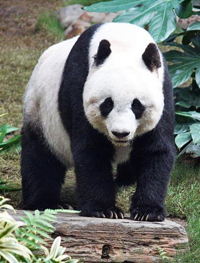 Panda Facts: 29 Facts about Pandas ←FACTSlides→