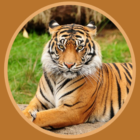 Tiger Facts 28 Facts about Tigers FACTSlides