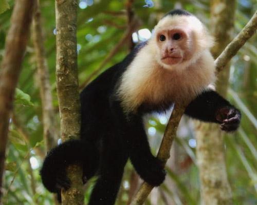 Pakistan Arrested Monkey in 2011 a Monkey Was Arrested