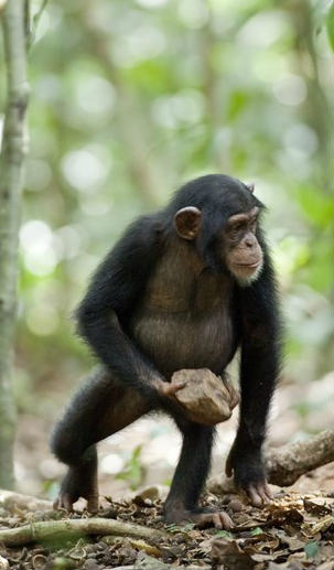 Bonobo Facts, Information, Pictures & Video