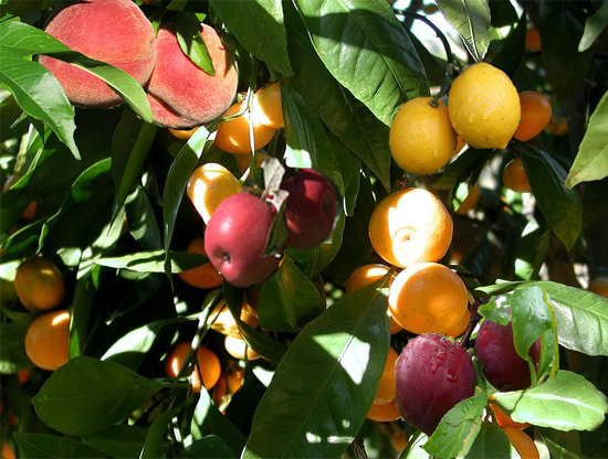 there is a tree called fruit salad tree that sprouts 3 to 7 different ...
