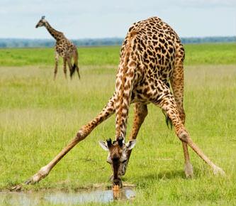 Giraffe Facts: 28 Facts about Giraffes ←FACTSlides→