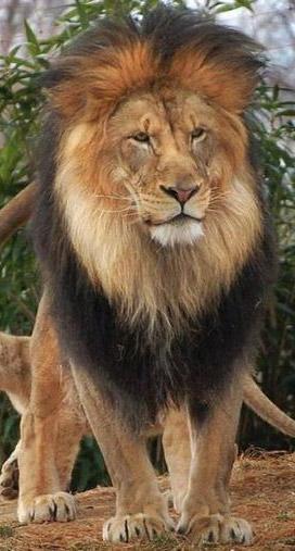 lion facts 14 facts about lions â factslidesâ