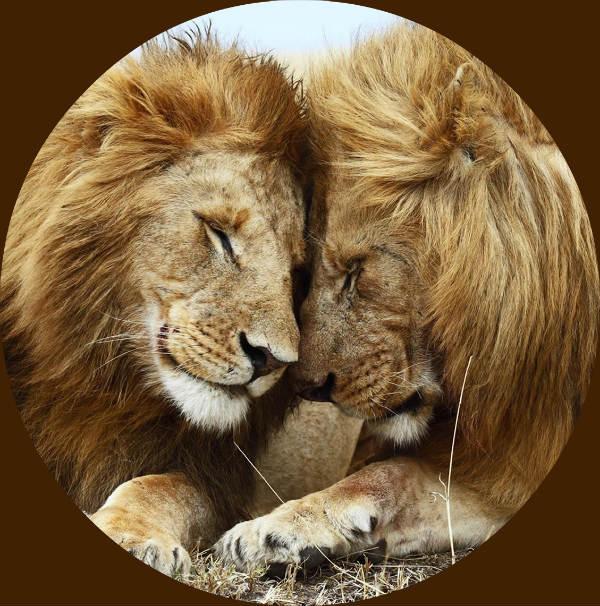 Lion Facts: 16 Facts about Lions ←FACTSlides→