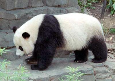 Panda Facts 29 Facts About Pandas Factslides