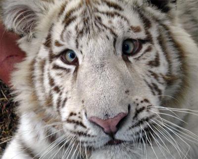 Resultado de imagem para white tiger korea